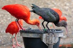 Scharlaken en zwarte Ibis Stock Afbeelding