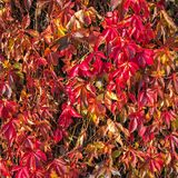 Scharlaken herfstachtergrond met wilde druivenbladeren Purpere, robijnrode dalingsbladeren van wilde druiven op een omheining royalty-vrije stock afbeeldingen