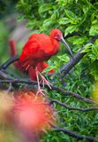 Scharlaken ibis Royalty-vrije Stock Fotografie