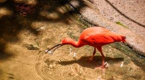 Scharlaken Ibis die zich in de vijver met duidelijk water bevinden en een stuk vissen in het Nationale Park van Iguacu eten Stock Foto