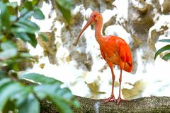Scharlaken ibis die zich op een grote tak bevinden royalty-vrije stock fotografie