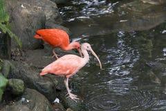 Scharlaken Ibis door de waterkant stock fotografie