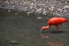 Scharlaken Ibis Volwassene, Status en het Drinken Royalty-vrije Stock Afbeelding