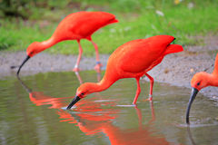 Scharlaken ibisvogels in de wildernis Royalty-vrije Stock Afbeelding
