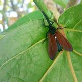 Scharlaken insect Royalty-vrije Stock Afbeelding