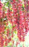 Scharlaken Klokwijnstok - Thunbergia Coccinea - Hangende Bloemen in Clusters Royalty-vrije Stock Afbeeldingen