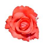 Scharlaken nam geïsoleerd op witte achtergrond toe Volledig open zachte die roze nam bloemhoofd op witte achtergrond wordt geïsol Royalty-vrije Stock Foto's