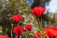 Scharlaken papavers op het groene gras Royalty-vrije Stock Afbeelding