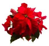Scharlaken poinsettiabloem of Kerstmisster Stock Foto