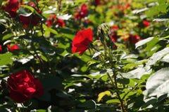 Scharlaken rozen Stock Afbeelding
