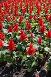 Scharlaken wijze bloemen in het bloembed royalty-vrije stock foto