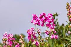 Schat roze bloemen met een mistachtergrond, Punt Reyes National Seashore, Californië stock afbeeldingen