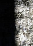 Schatten auf der Birke Stockfotografie
