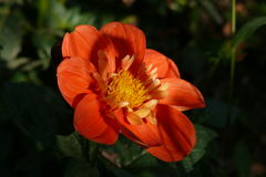 Schatten auf der roten Blume Lizenzfreie Stockbilder