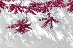 Schatten auf einer weißen Wand gegen rote Blätter Stockbild