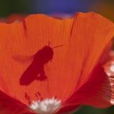 Schatten der Biene Stockfoto