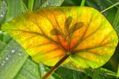 Schatten der Libelle auf Blatt Stockfotos