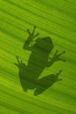 Schatten des kubanischen treefrog auf von hinten beleuchtetem grünem Blatt Stockfoto