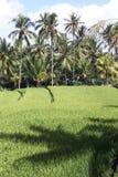 Schatten und Reis Stockfoto