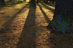 Schatten von Lärchenstämmen im Bodendeckeherbst Lizenzfreie Stockbilder