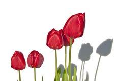 Schatten von roten Tulpen auf einer weißen Wand Stockbilder