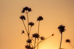 Schattenbild, Blumenbild am Abend Stockbilder