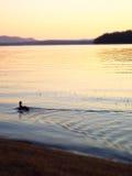 Schattenbild der Entenschwimmens entlang See im goldenen Morgenlicht mit purpurroten Bergen im Hintergrund stockbilder