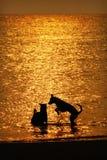 Schattenbild der Hunde, die im Meer auf Sonnenuntergang spielen Stockfotografie