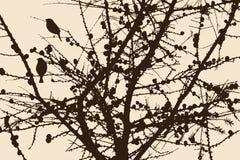 Schattenbild der Kiefernniederlassungen Stockfoto