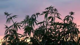 Schattenbild der Oberteile Niederlassungen des wilden Hanfs auf einem Hintergrund des Sonnenuntergangs Bearbeitung des Hanfs stock video