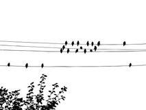 Schattenbild der waxwings Stockbild