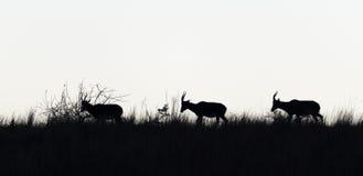 Schattenbild der wild lebenden Tiere Stockbilder