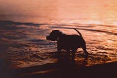 Schattenbild des American Staffordshire Terriers lizenzfreies stockfoto