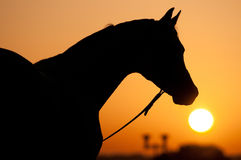 Schattenbild des arabischen Pferds und des Sonnenaufgangs Lizenzfreies Stockbild