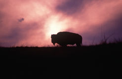 Schattenbild des Büffels auf dem Gebiet am Sonnenuntergang Stockfotografie