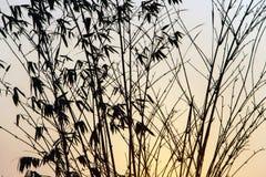 Schattenbild des Bambusses bei Sonnenuntergang lizenzfreies stockfoto