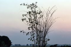 Schattenbild des Bambusses bei Sonnenuntergang stockbild