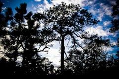 Schattenbild des Baums mit Hintergrund des blauen Himmels Stockfotos