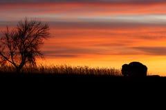 Schattenbild des Bisons und des Baums am Sonnenuntergang. stockbild