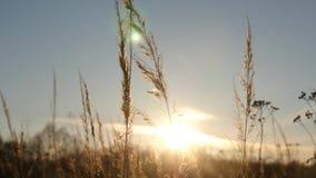 Schattenbild des Grases im Sonnenuntergang stock footage