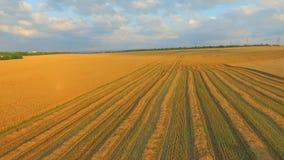 Schattenbild des kauernden Geschäftsmannes Feld des Weizens nachdem dem Ernten stock video footage