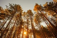 Schattenbild des Kiefernwaldes mit mystischem Himmel Stockfoto