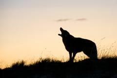 Schattenbild des Kojoten heulend bei Sonnenaufgang Lizenzfreie Stockbilder