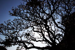 Schattenbild des Plumeriabaums Lizenzfreies Stockbild