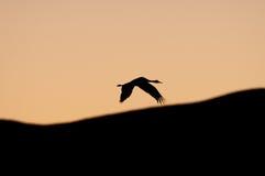 Schattenbild des sandhill Kranes Lizenzfreie Stockbilder
