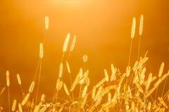 Schattenbild des trockenen Grases am Sonnenuntergang Lizenzfreie Stockfotografie