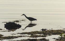 Schattenbild des Weiß-gesichtigen Reiher-Vogels an Scandrett-Strand Auckland Neuseeland; Wild lebende Tiere am regionalen Park stockfotos