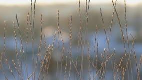 Schattenbild des wilden Grases gegen goldenen Stundenhimmel während des Sonnenuntergangs stock video footage
