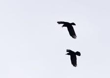 Schattenbild des zwei Krähen-Jagens Stockbild