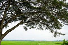 Schattenbild einer Baumüberdachung am Feld des ungeschälten Reises Lizenzfreies Stockfoto